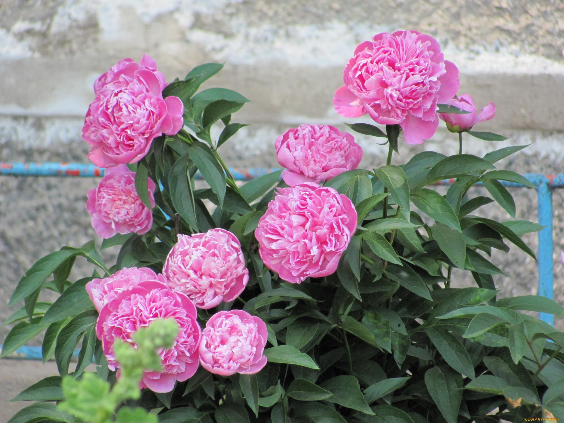 Цветы пионы  и картинки